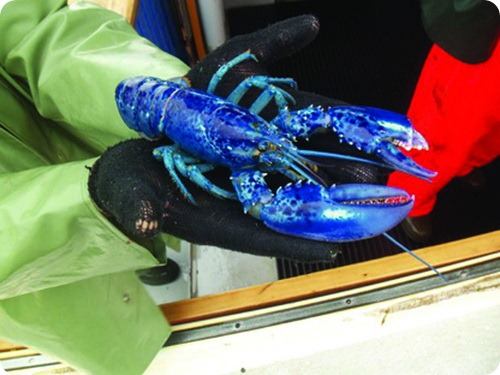 Уильяма и Кейт - пара редких голубых омаров