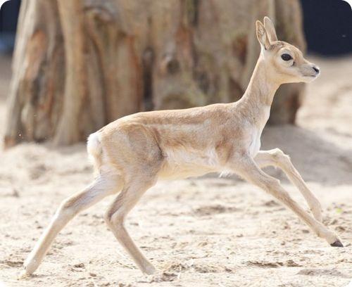 винторогие антилопы, или гарны