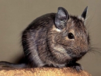 Обнаружены новые виды кустарниковых крыс