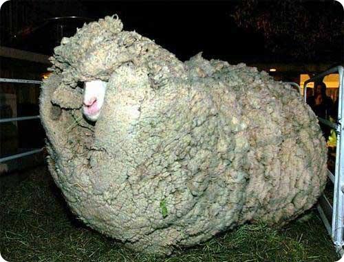 В Новой Зеландии скончался - баран по прозвищу Шрек