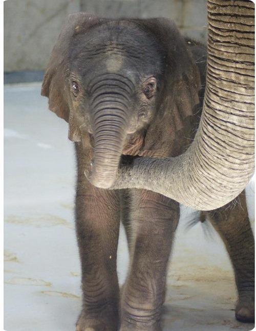 Долгожданный слоненок из Толедо
