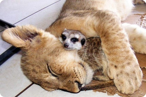 Львенок и сурикат