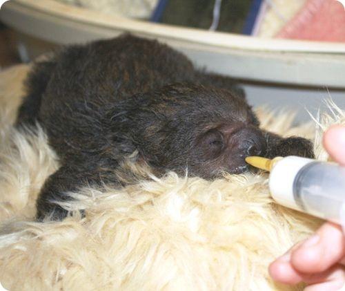 Встречаем Сида, ленивца из Бристоля