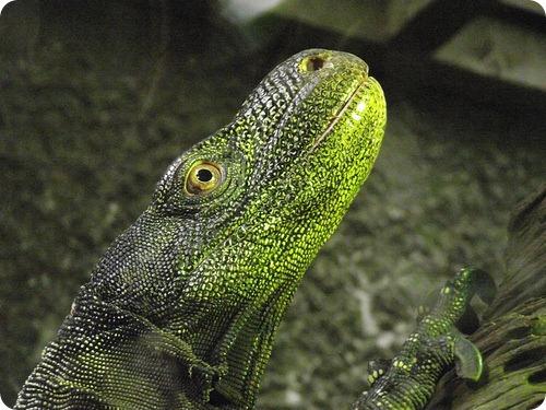 Крокодиловый варан