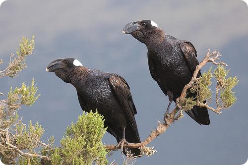 Бронзовая ворона (лат. Corvus crassirostris)