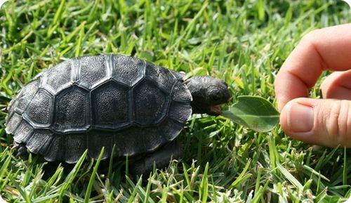 Первый детеныш галапагосской черепахи в Австралии