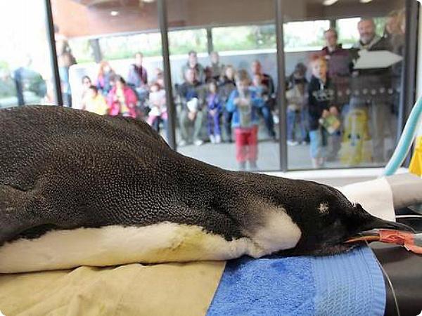 Заблудившегося пингвина начали лечить