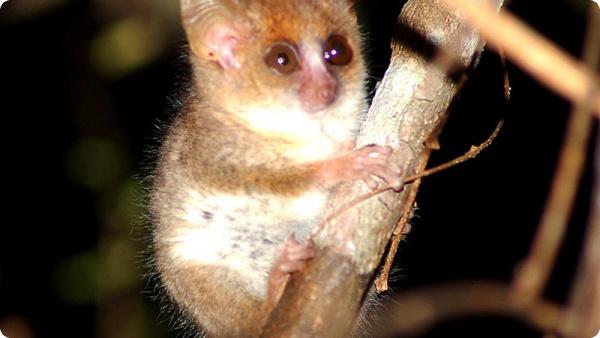9-сантиметровый мышиный лемур