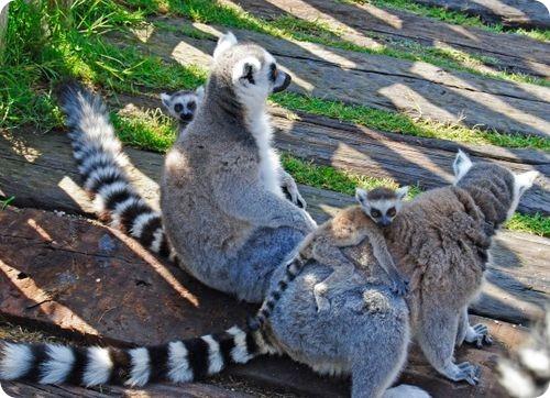 Веселая семейка кошачьих лемуров
