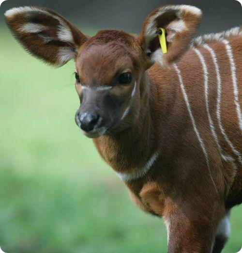 Бонго-Бэби-Бум в зоопарке Белфаста