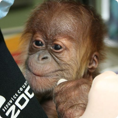 Орангутанг из Канзаса знакомится с мамой