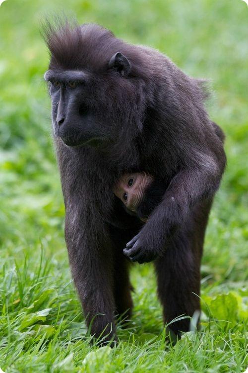 Хохлатый павиан из Дублинского зоопарка