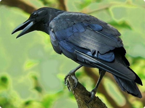 Кто же умнее — ворон или попугай?