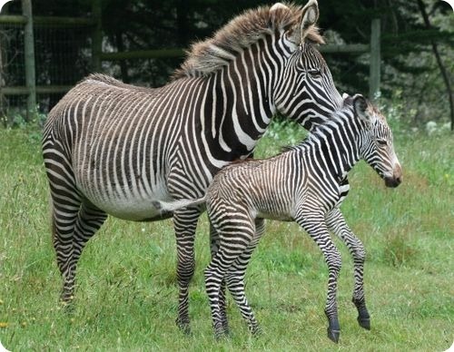 Раз полоска, два полоска: зебра Греви из Калифорнии