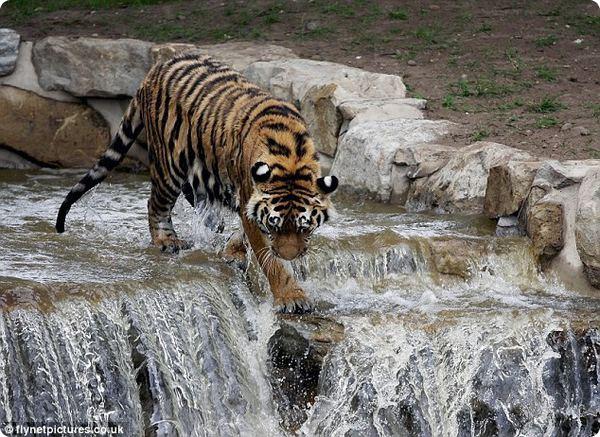 Тигр – экстремал