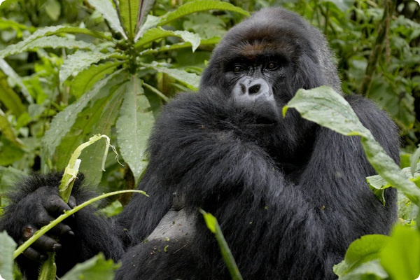 Как горные гориллы сохраняют фигуру