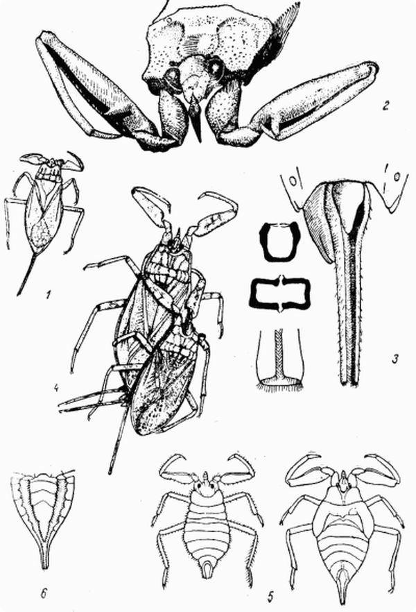 Немного о жизни водяного скорпиона