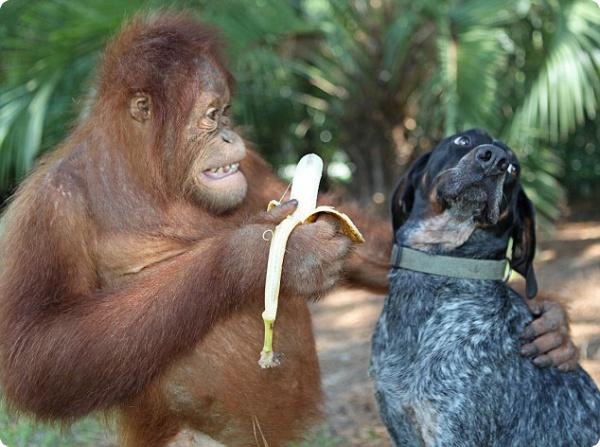Орангутанг и собака - дружба навсегда!