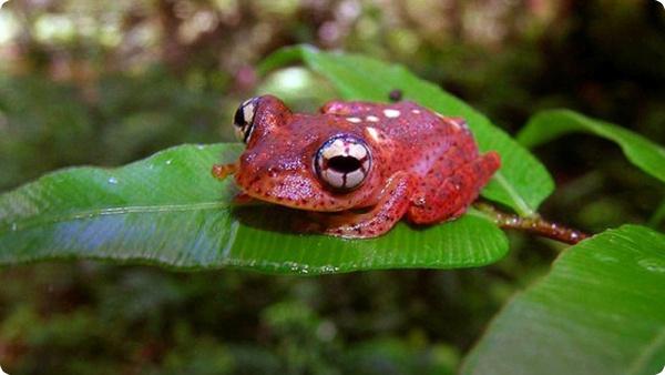 Лягушка Boophis pyrrhus