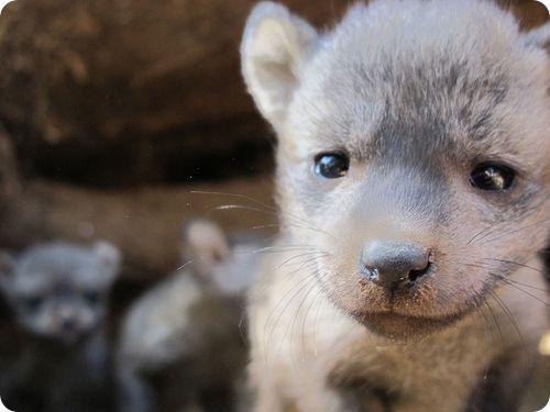 Пять большеухих лисиц из Сафари Парка в Сан-Диего