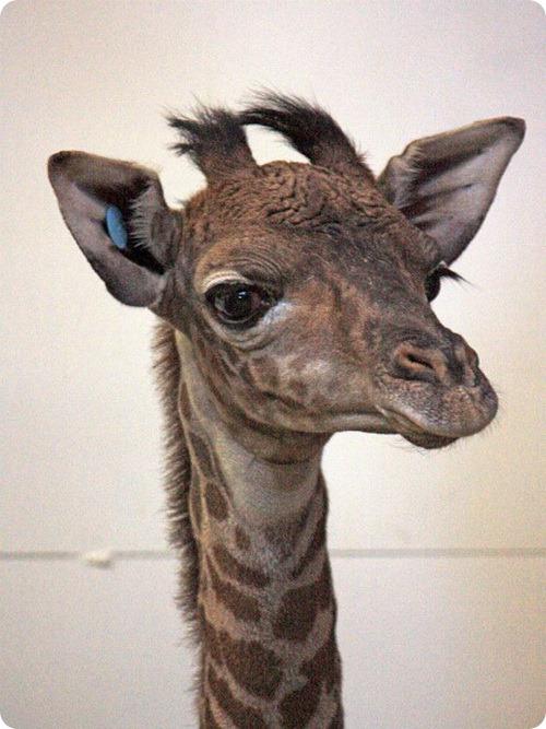 Детеныш масайского жирафа из Кливленда