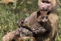 Бабуин и галаго — верные друзья