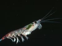 Антарктический криль позволяет расти фитопланктону