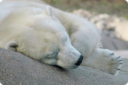Генетики обновили родословную белых медведей