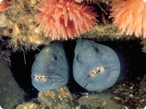 Зубатка полосатая или рыба-волк
