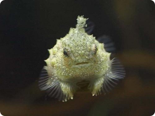 Пинагор, или морской воробей