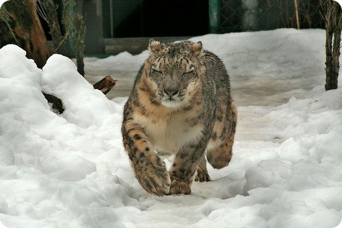 Ирбис или снежный барс