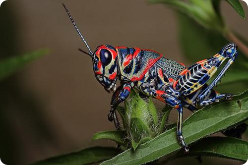 Двуцветный кузнечик