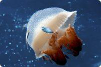 Мозаичная медуза