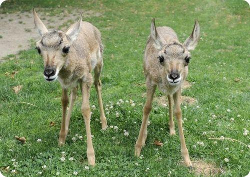 Вилороги из зоопарка Квинс