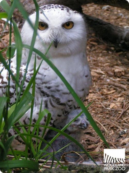Птенец белой совы в Вудленд Парке