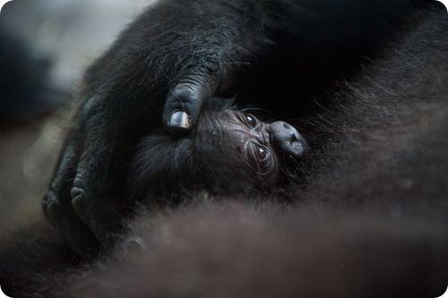 Дитинча західної рівнинної горили з Майамі - все про тварин
