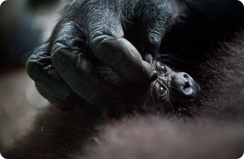 Детеныш западной равнинной гориллы из Майами