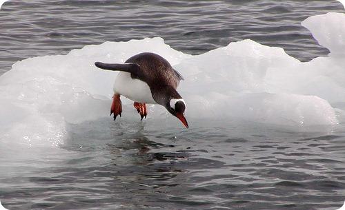 Пингвины могут подниматься в воздух при необходимости