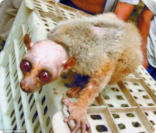 Китайцы приняли лысого лемура за пришельца