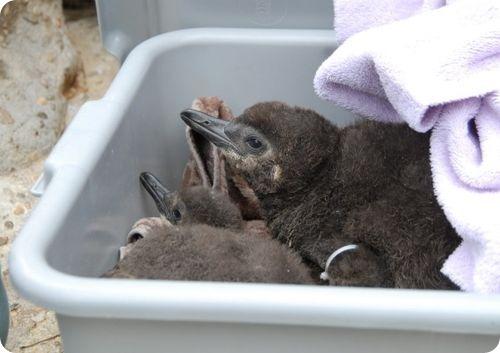 Магеллановых пингвинов стало больше
