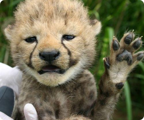 Детеныши гепарда бодры и веселы