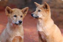 Щенки дикой собаки динго из Перта