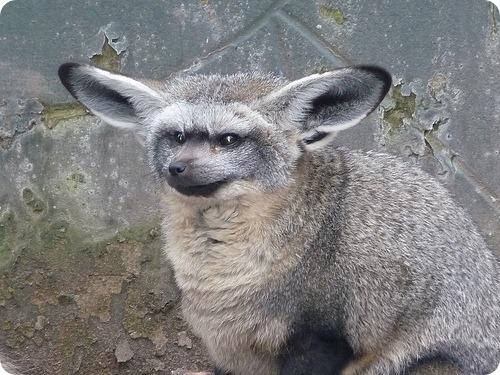 Лисица большеухая