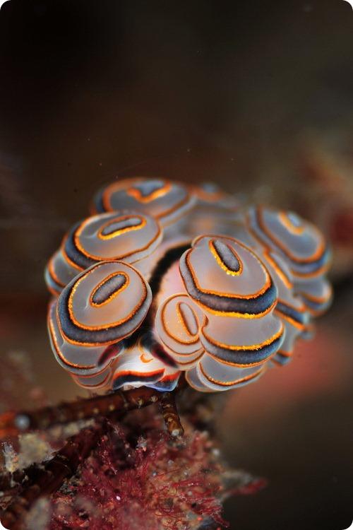 Голожаберный моллюск Doto sp.