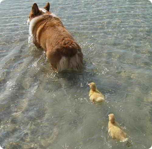 Удивительное семейство – два утенка и пес