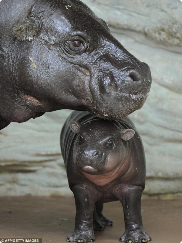 В зоопарке Токио родился карликовый гиппопотам