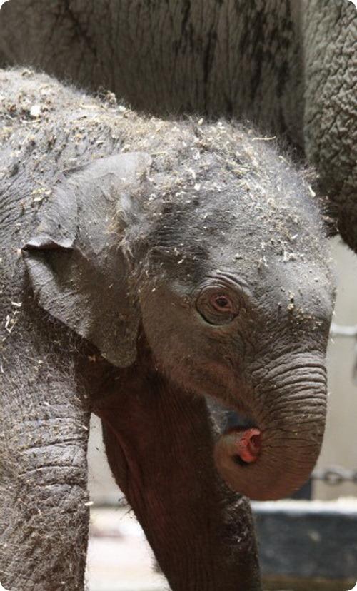 Детеныш азиатского слона из Сент-Луиса