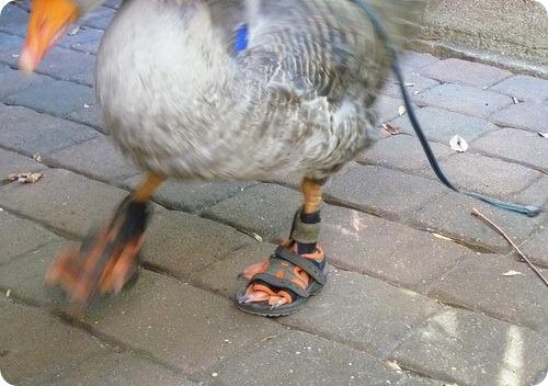 Гусиные сандалии