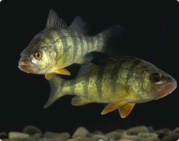 Большой желудок хищных рыб