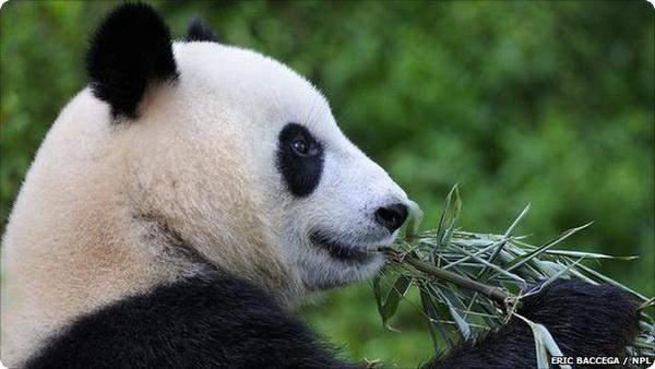 Раздельное существование больших панд